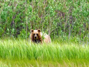 Grizzly on the Mackenzie River, NWT